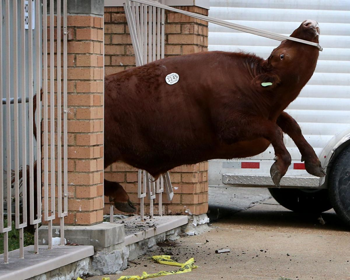 Steak Out Police Corral Cattle After Escape From St
