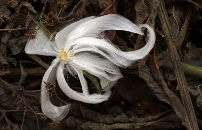 """Frost flower """"blooming"""" in Forest Park"""