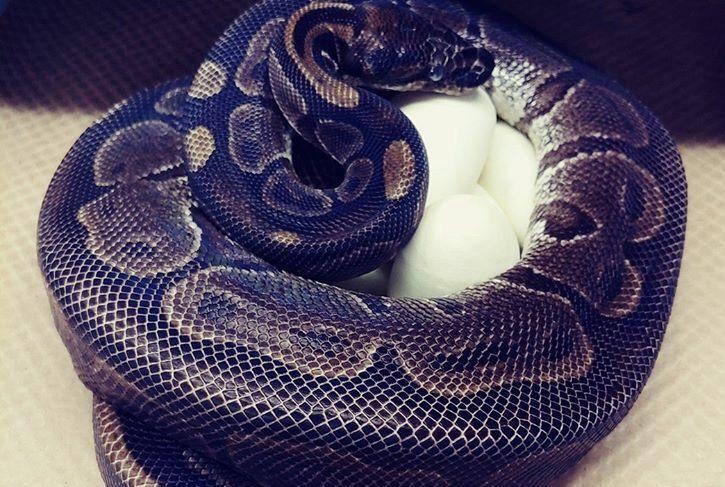 Ball python lays eggs