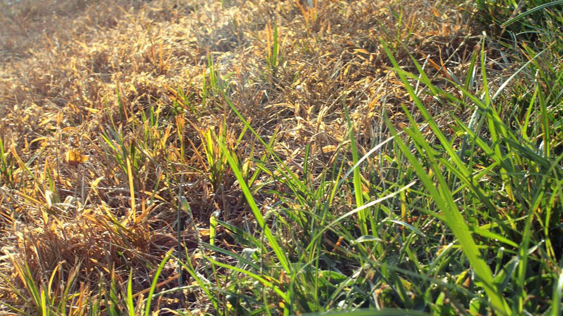 Act Now To Repair Your Lawn From Summer Damage Home And Garden Stltoday