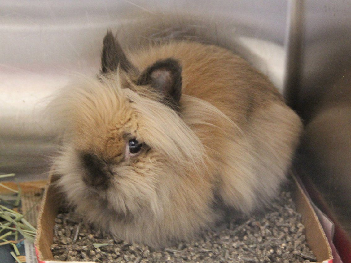 Pet of the Week: Buster, a Lionhead rabbit | Pets ...