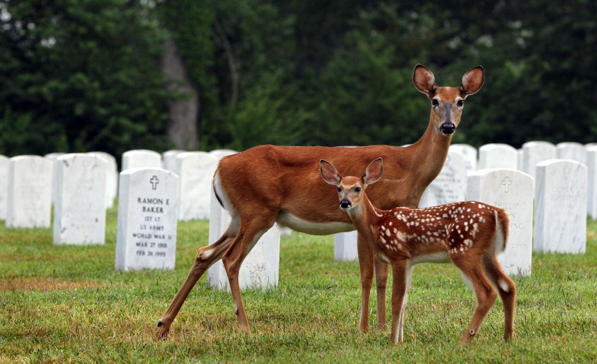 Deer population on the rise at Jefferson Barracks