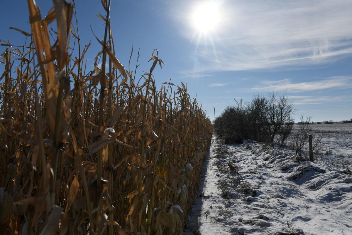 Frozen corn is seen on a farm in East Grand Forks