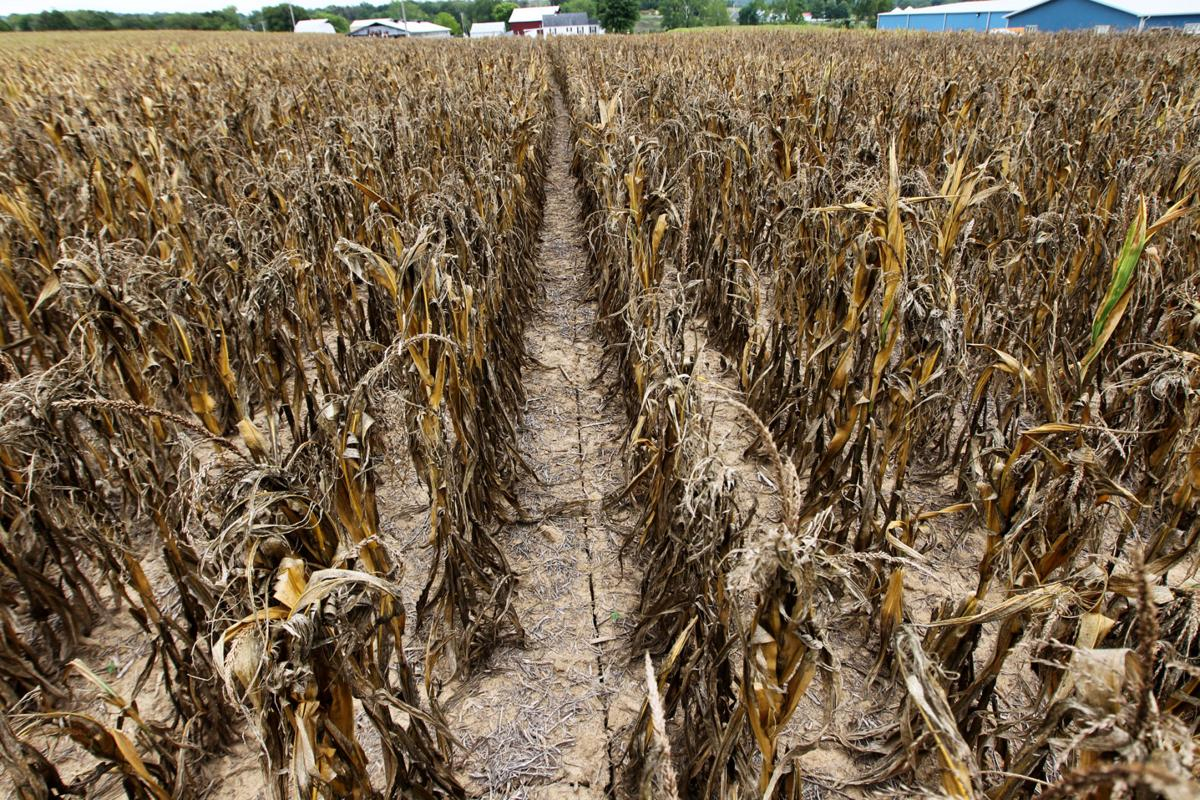 Dying corn.. ground cracking with farmhouse