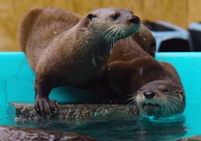 Ever named an otter? How about three otters? St. Louis Aquarium needs your help