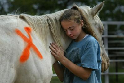 Injured horses bound for slaughter treated after accident