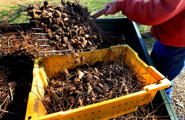 Drought halves pecan crop; prices surge for Holiday season