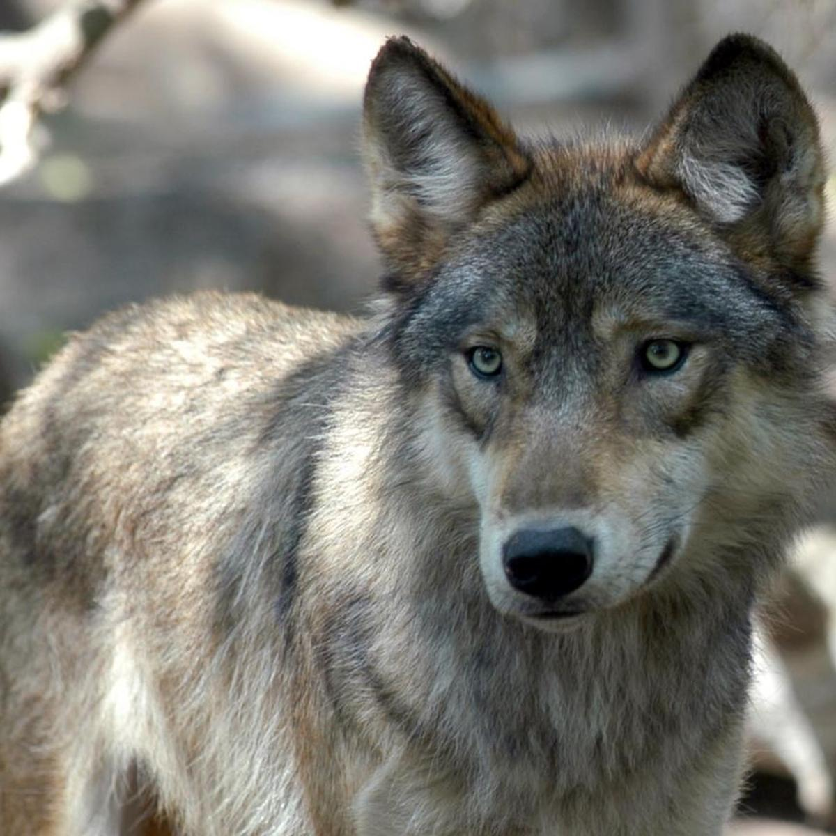 Illinois Preps For Possibility Of Wolf Population Illinois Stltoday Com