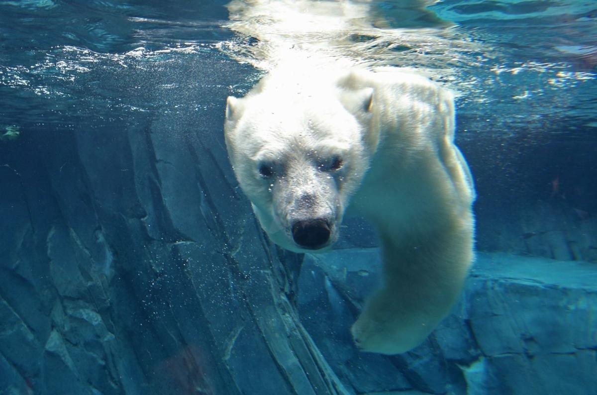 New Polar Bear Habitat Unveiled at the Zoo