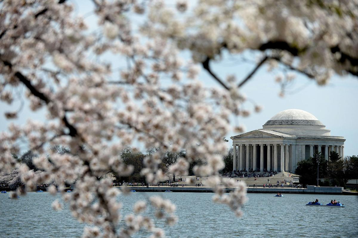 Delight In Washington D C S Annual Cherry Blossom Festival From