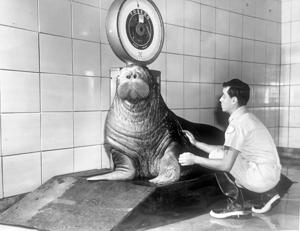 人気のための動物園、セイウチのジークフリー死亡した日曜日