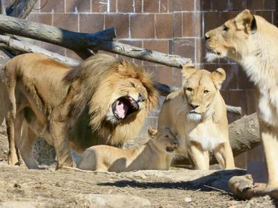 Lions at the Omaha zoo