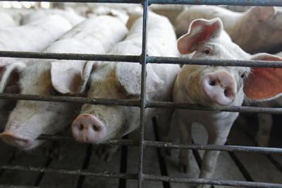 Hogs at a farm