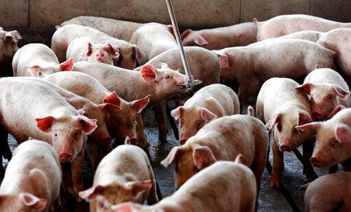 Court upholds hog verdict; Smithfield announces settlement
