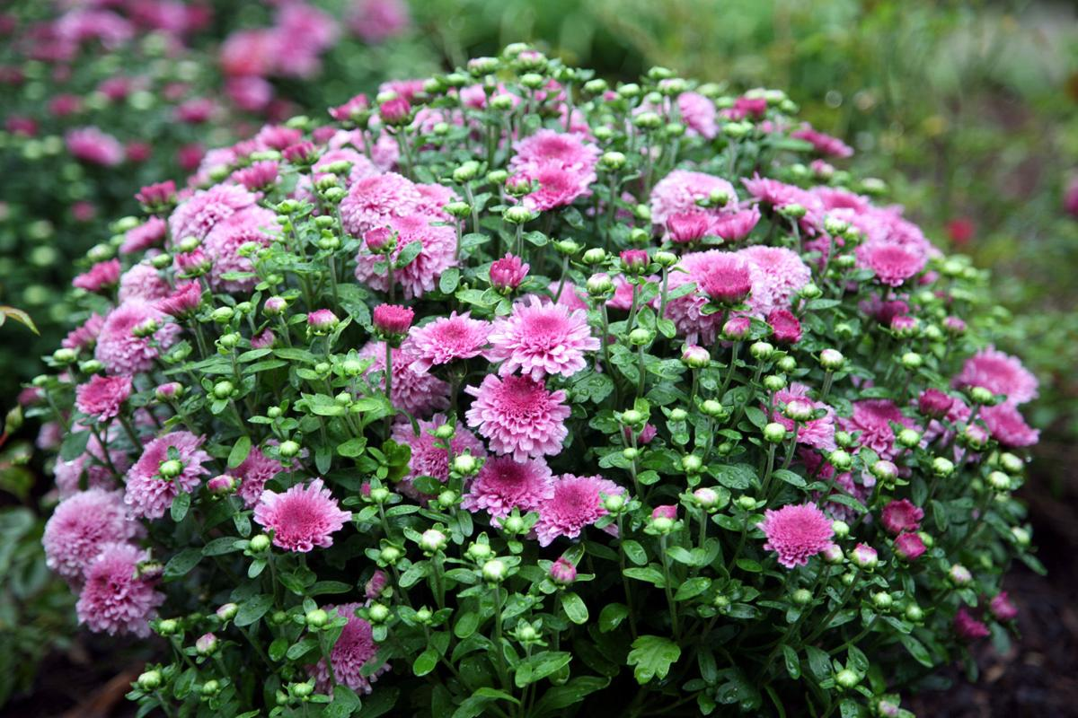 Hardy mums require pinching frequent division home and garden hardy mums require pinching frequent division izmirmasajfo