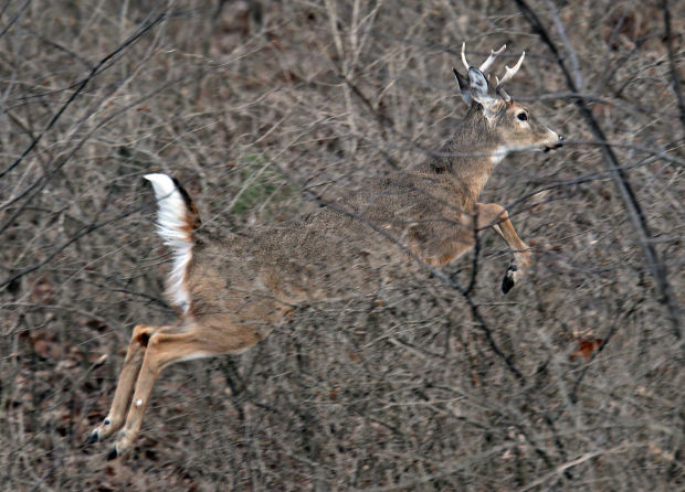 Deer find a haven at Jefferson Barracks National Cemetery