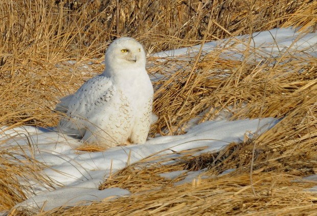 Snowy owl spotted in Lincoln County