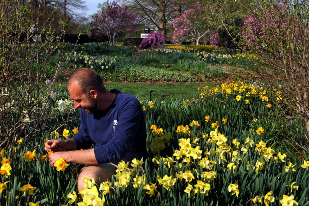 Spring 2012- Jason Delaney cross-pollinates daffodils