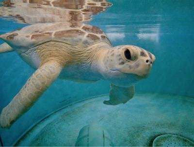 Tsunami the green sea turtle