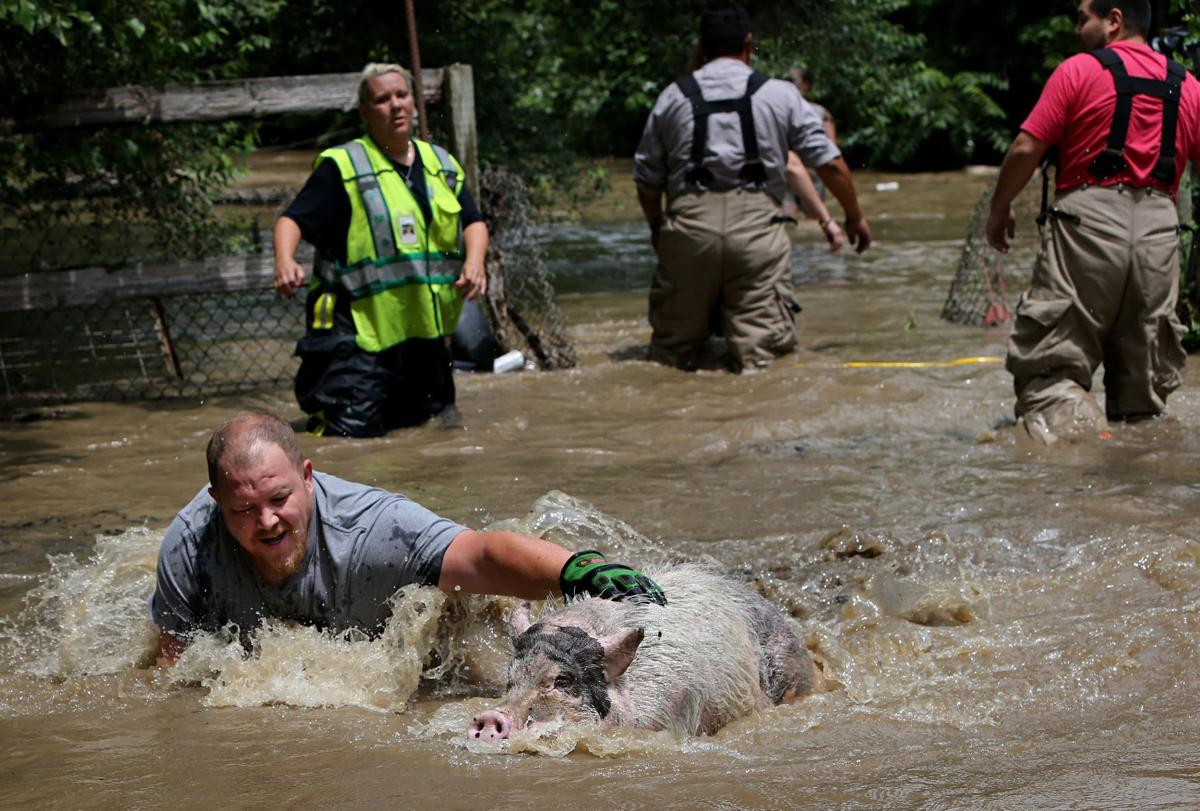 Potbellied pigs rescued from floodwaters in State Park, Ill