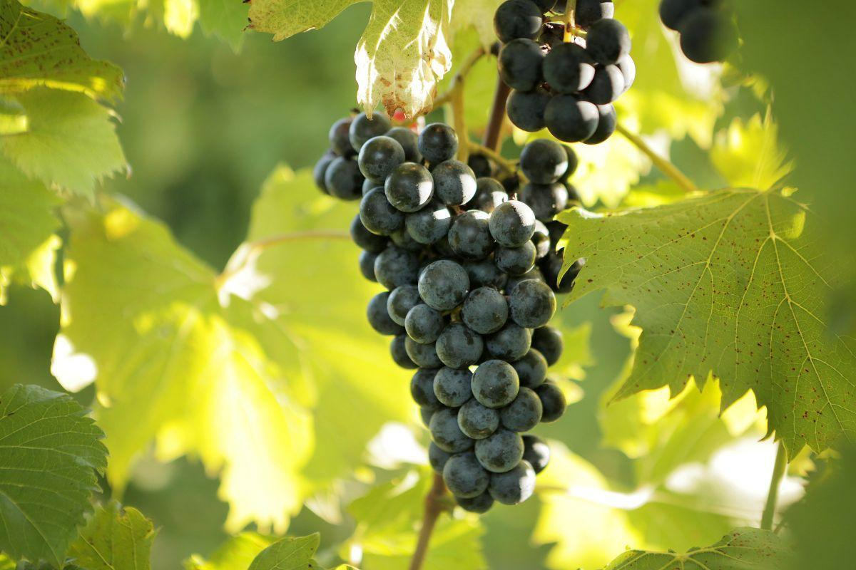 Chambourcin wine at Montelle Winery