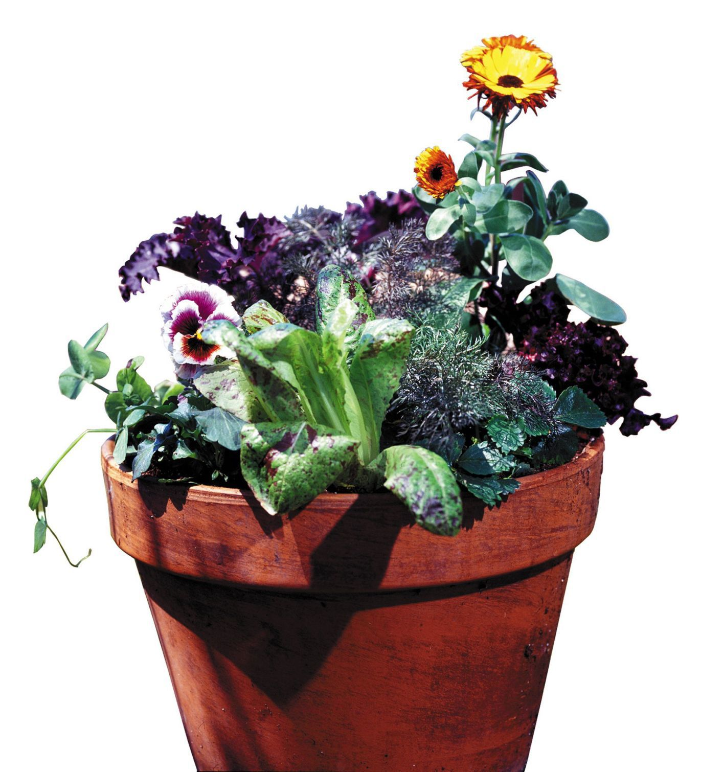 What flowers can overwinter at home in pots to return to the flowerbed in spring 19