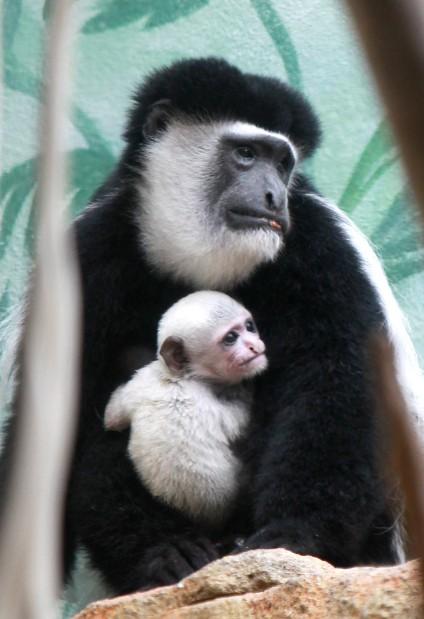 New colobus monkey