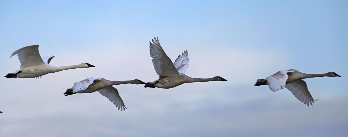 Trumpeter swans roost in high numbers at the confluence