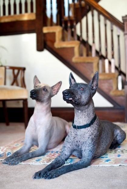 Xolo breed makes comeb...