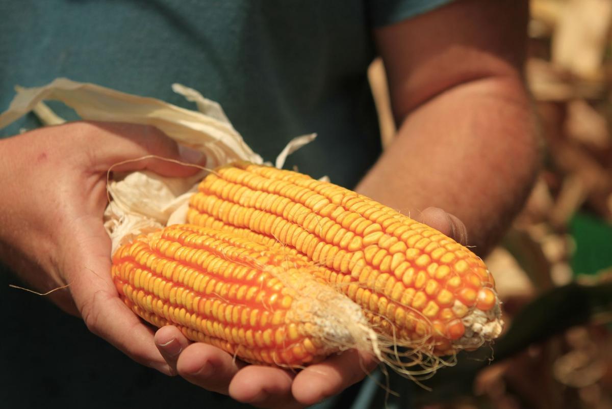 Kaiima corn