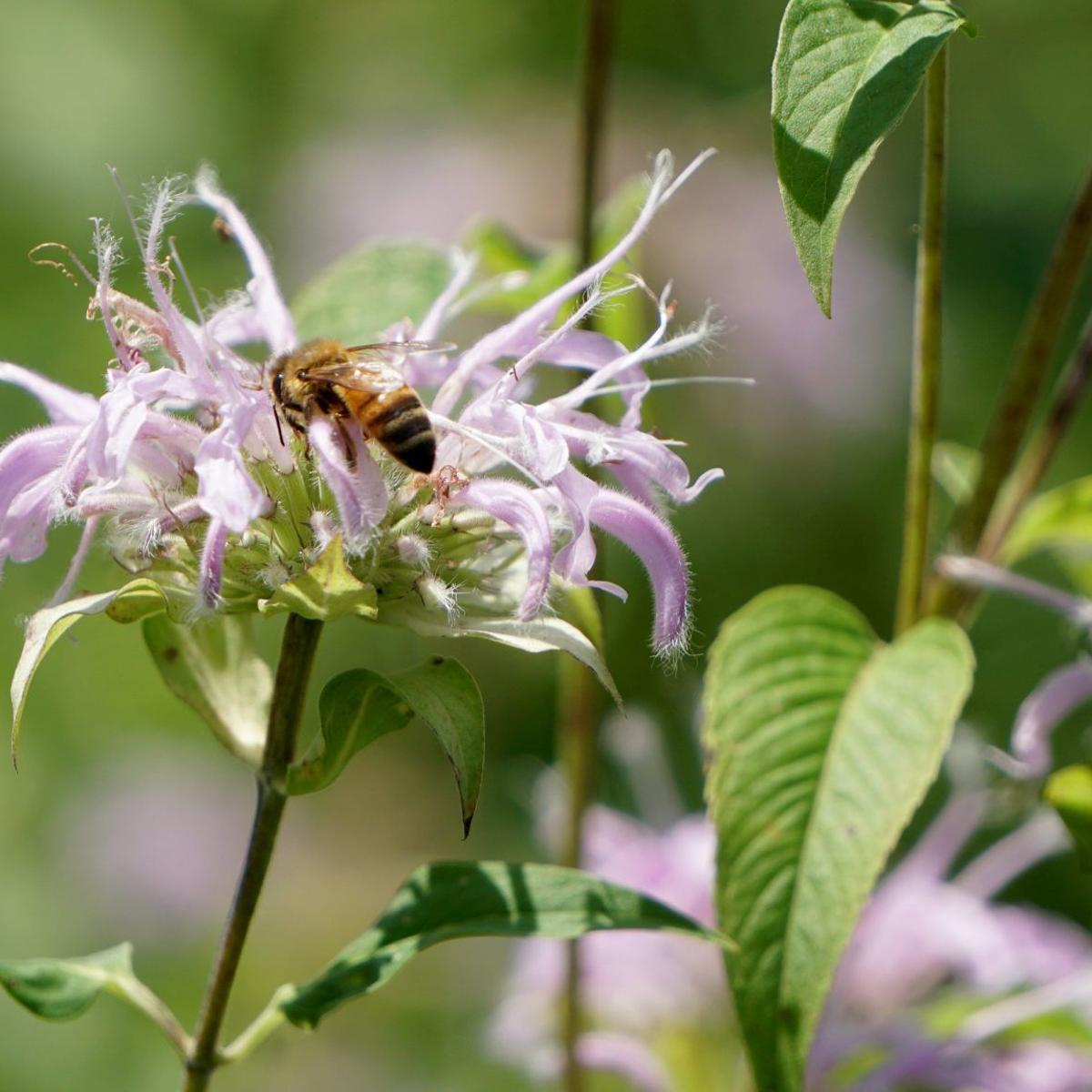 Bee Blitz aims to let volunteers help researchers via