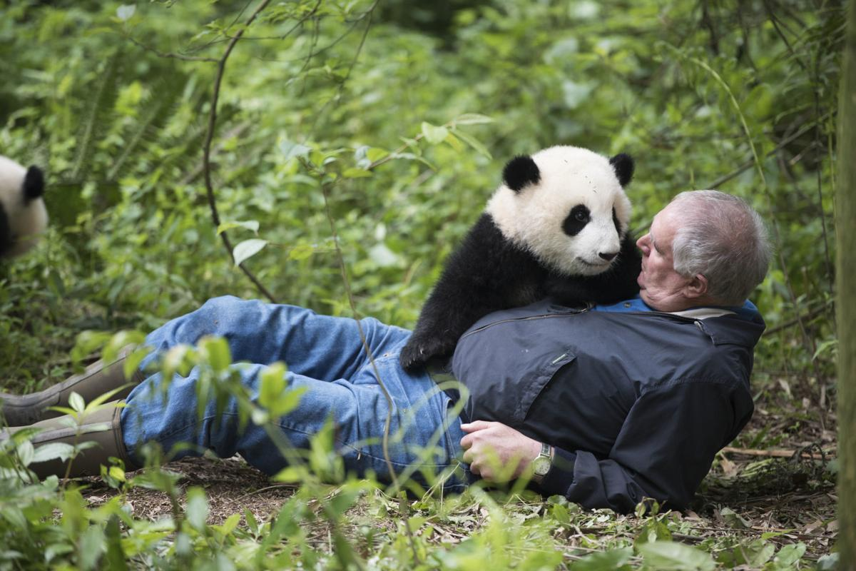 a62d537060cf Imax film  Pandas  gets up close with endangered bears