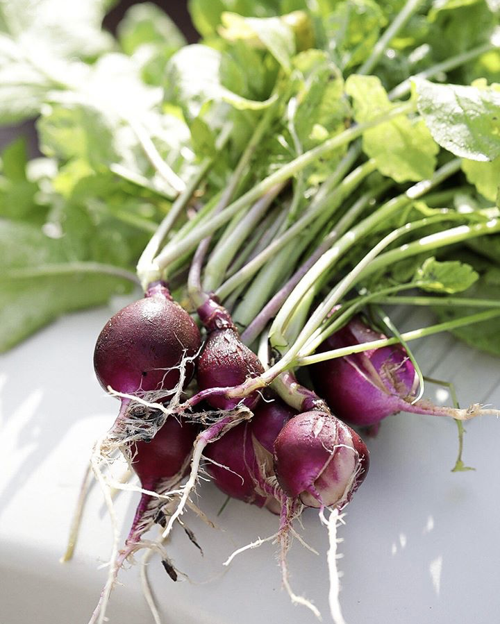 Purple radishes
