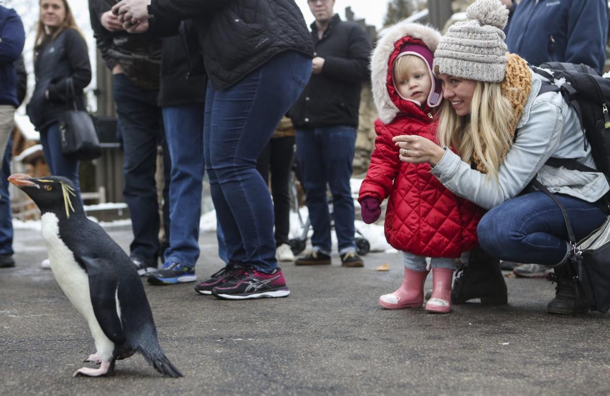 Photos: Penguins explore the St. Louis Zoo