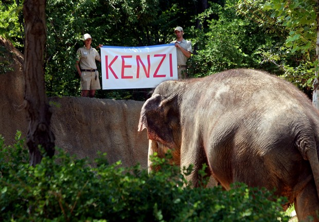 baby elephant at the st louis zoo gets name kenzi entertainment