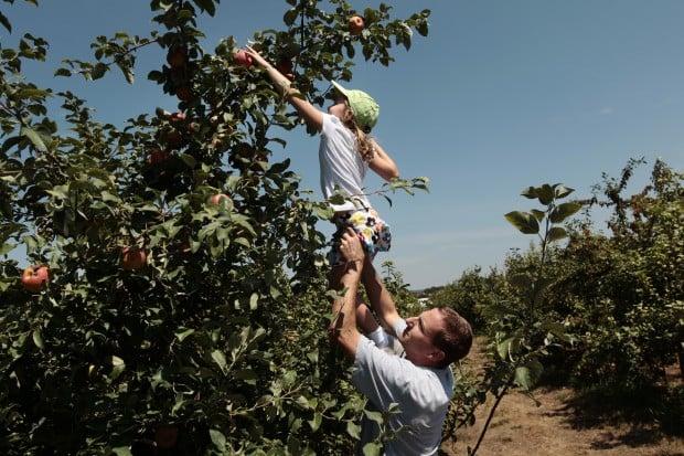 Weather brings early apple harvest