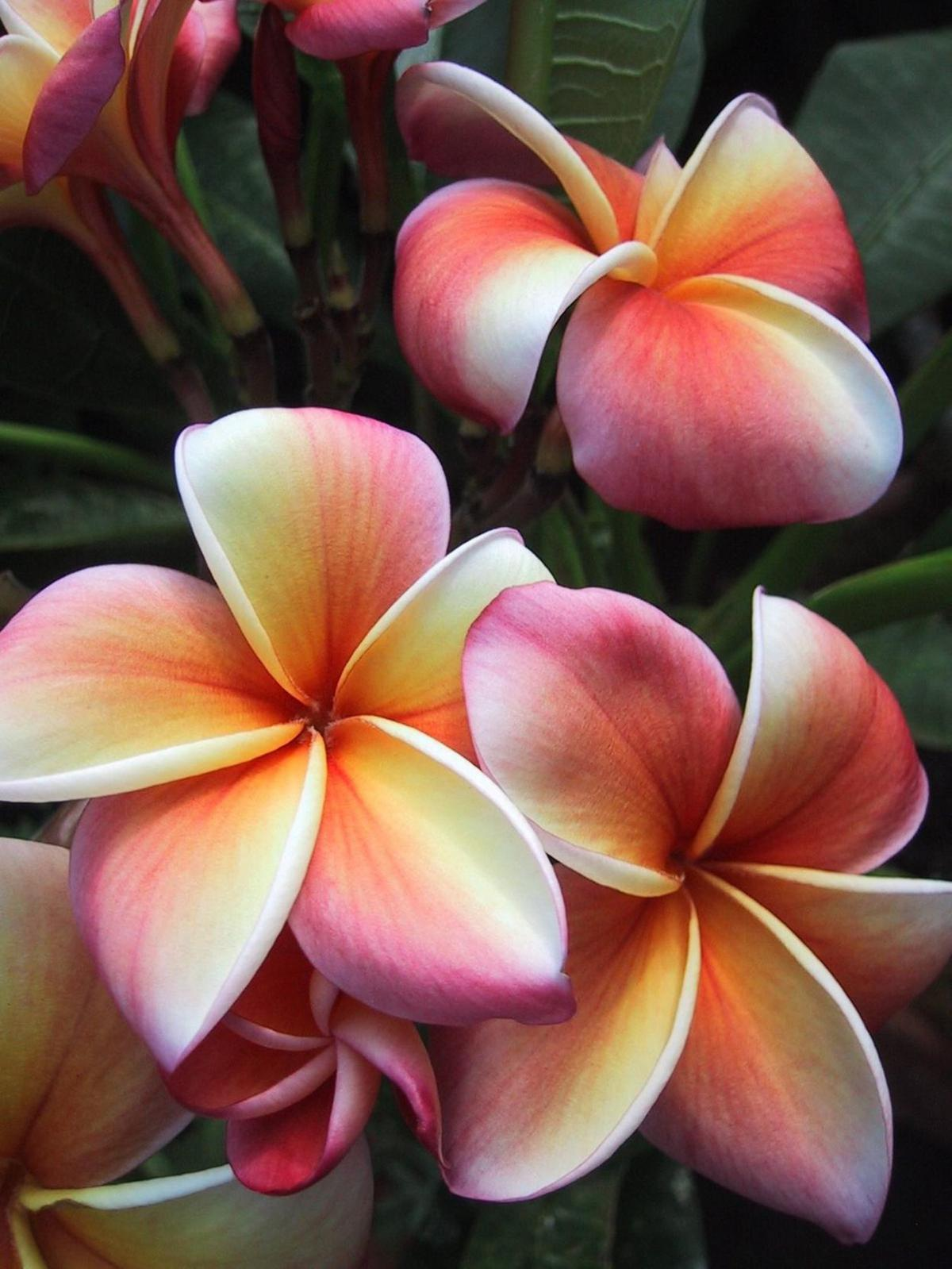 Move plumeria outdoors after all chance of frost is past home and frangipani plumeria photo by m marchin izmirmasajfo