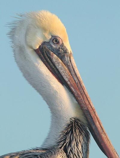 Port Richey mascot: The pelican?
