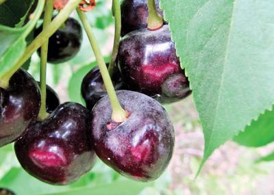 Researchers looking to stem powdery mildew on cherries