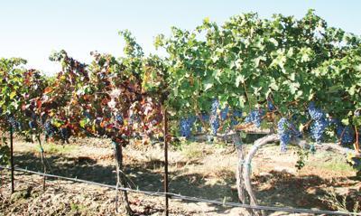 Diseases concern vintners