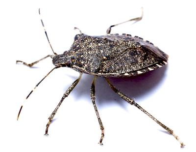 Stink bugs 'taking the state by swarm,' researchers say