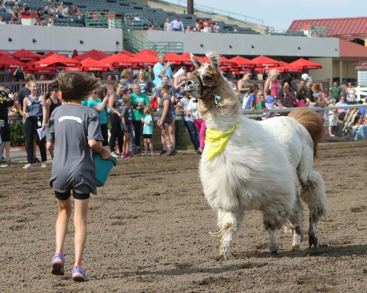 Llama races