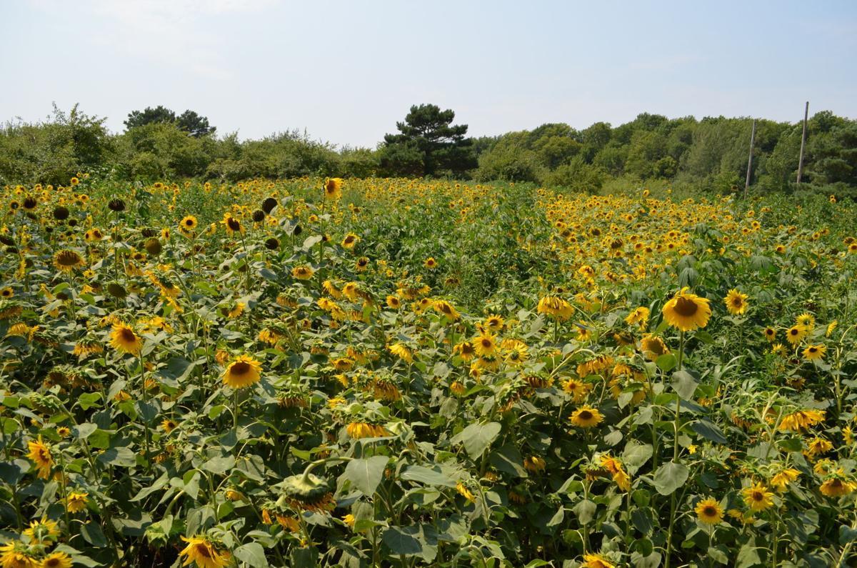 Sunflowers Minnesota Harvest Orchard 2