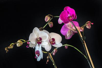 Orchids In Bloom At Arb Swnewsmedia Com