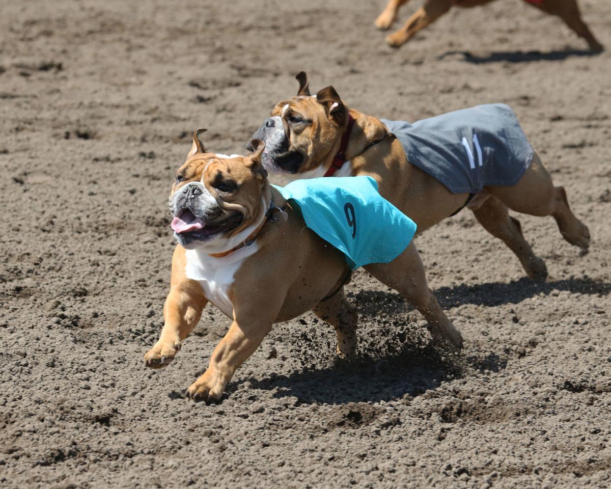 bulldogs neck and neck