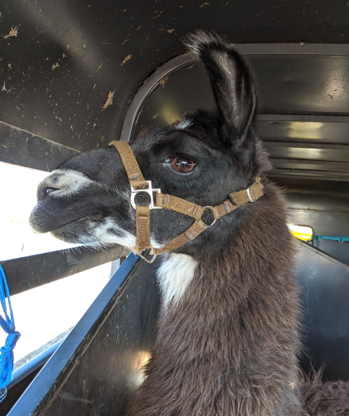 Larry the llama 1