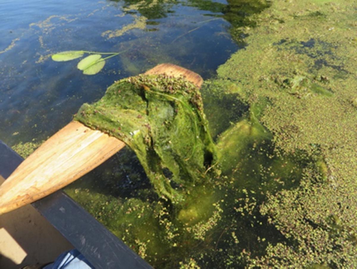 Algae Filamentous