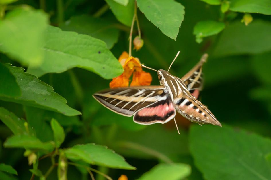 Commentary: Riddle of the sphinx moth | Columnists | swnewsmedia.com