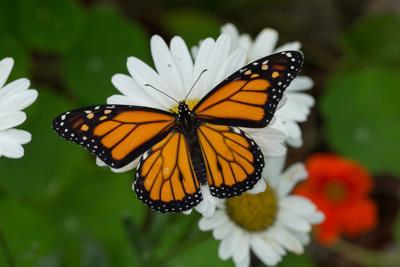 Tekiela monarch