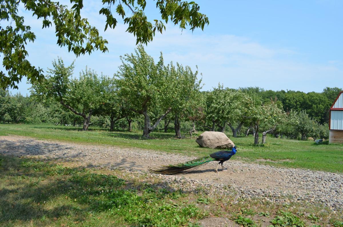 Minnesota Harvest Apple Orchard peacock 1